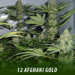 12 Afghamin Gold Cannabis Seeds only $19