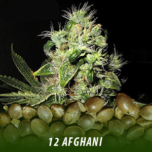 cannabis-seeds-AFGHANI