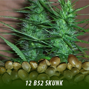 12 B52 Skunk strain cannabis seeds only $19