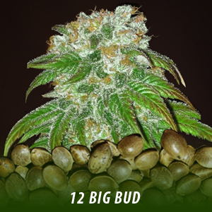 12 Big Bud Strain Cannabis Seds only $19