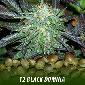 12 Black Domina Strain Cannabis Seeds only $19