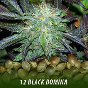 cannabis-seeds-BLACK-DOMINA