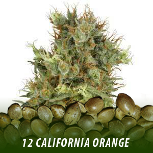 12 California Orange Strain Cannabis seeds only $19
