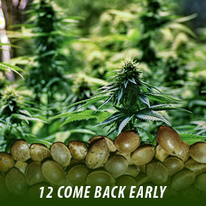 12 Come Back Early Cannabis Seeds only $19