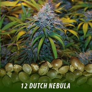 cannabis-seeds-DUTCH-NEBULA