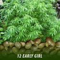 cannabis-seeds-EARLY-GIRL