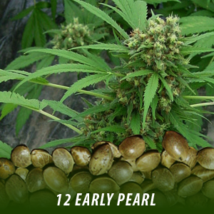 12 Early Pearl strain Cannabis Seeds only $19