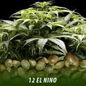 cannabis-seeds-EL-NINO