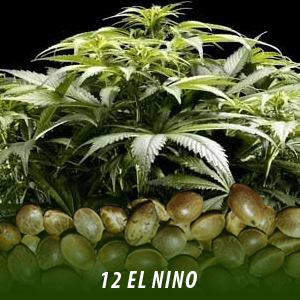 cannabis-seeds-EL-NINO