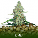 cannabis-seeds-G13