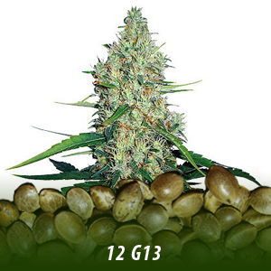 12 G13 Cannabis Seeds