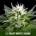cannabis-seeds-GREAT WHITE SHARK