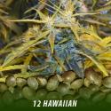 cannabis-seeds-HAWAIIAN