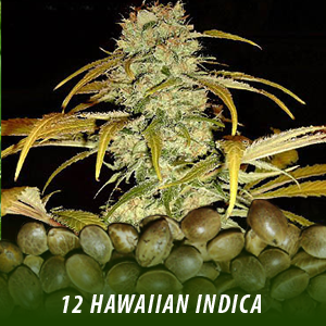 12 Hawaiian Indica strain cannabis seeds only $19