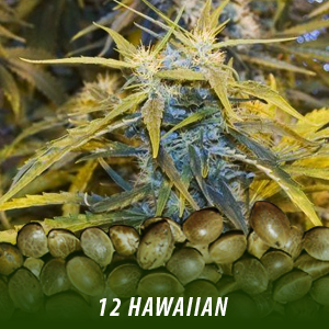 cannabis-seeds-HAWAIIAN