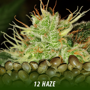 12 Haze Strain Cannabis Seeds only $19