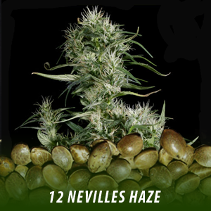 cannabis-seeds-NEVILLES-HAZE