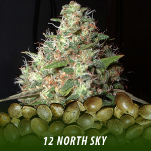 12 North Sky Strain Marijuana Seeds only $19