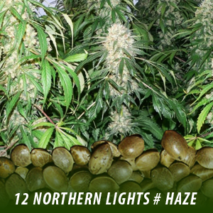 12 Northern Lights # Haze strain Cannabis Seeds only $19