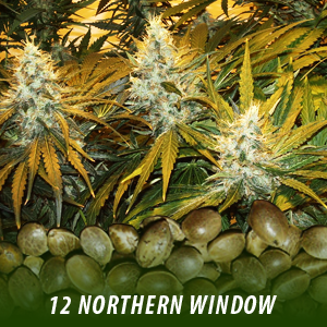 12 Northern Window strain Cannabis Seeds only $19