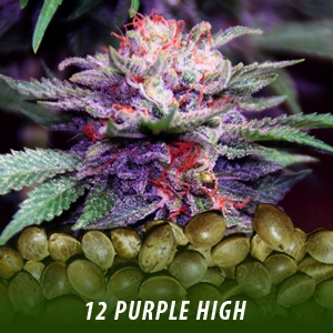 12 pURPLE hIGH sTRAIN cANNABIS sEEDS ONLY $19