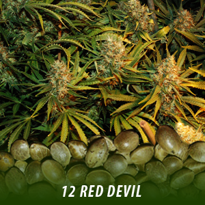 12 Red Devil Cannabis Seeds only $19