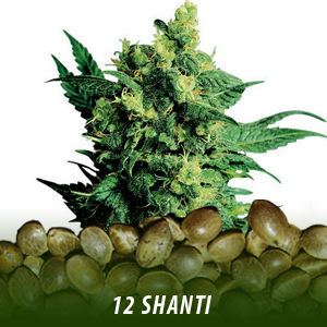 12 Shanti Strain Cannabis seeds only $19