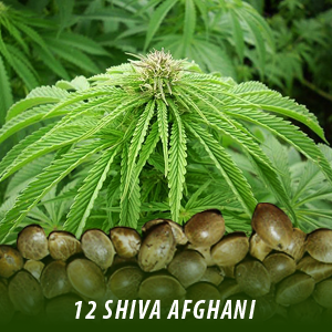 12 Shiva Afghani Cannabis Seeds only $19
