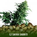 cannabis-seeds-SHIVA-SHANTI