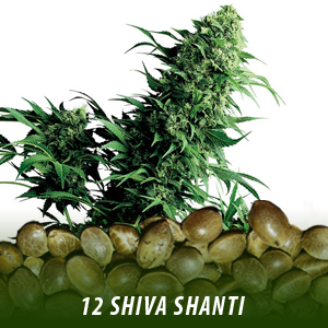 12 Shiva Shanti Cannabis seeds only $19