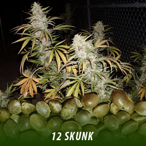12 Skunk Cannabis seeds only $19