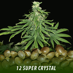 12 Super Crystal Strain Cannabis Seeds