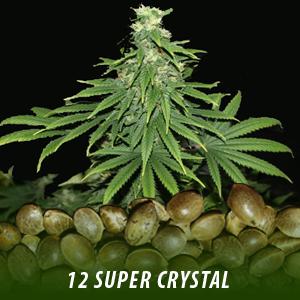 cannabis-seeds-SUPER-CRYSTAL