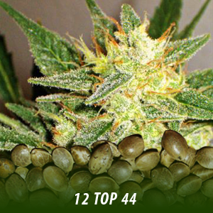 12 Top 44 Strain Cannabis Seeds only $19