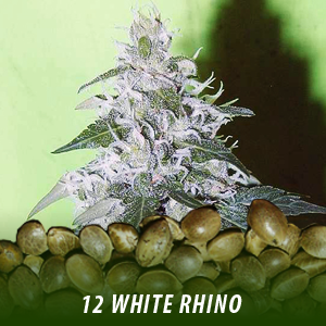 12 White Rhino strain cannabis seeds only $19