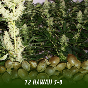 12 Hawaii 5 0 strain cannabis seeds only $19