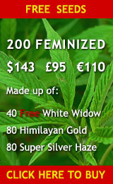 I80 Feminized Cannabis Seeds