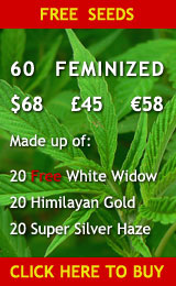 60 Feminized Cannabis Seeds