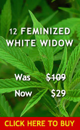 12 Feminized White Widow