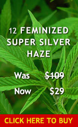 12 Feminized Super Silver Haze Cannabis Seeds
