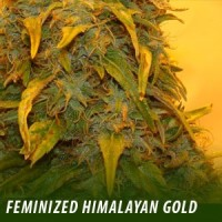 himgold