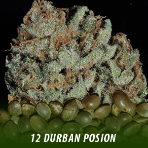 cannabis-seeds-DURBAN-POISON