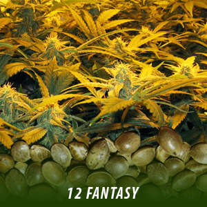 12 Fantasy Strain Marijuana seeds only $19