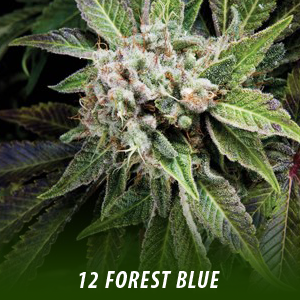 cannabis-seeds-FOREST-BLUE