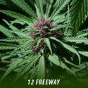 cannabis-seeds-FREEWAY