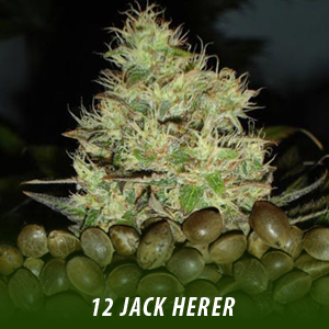 12 Jack Herer cannabis seeds only $19