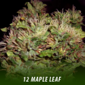 cannabis-seeds-MAPLE LEAF