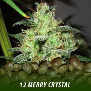 cannabis-seeds-MERRY-CRYSTAL