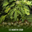 cannabis-seeds-NORTH-STAR