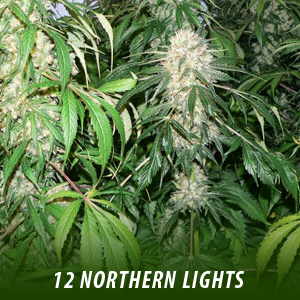 cannabis-seeds-NORTHERN-LIGHTS